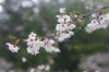 西都原公園の桜