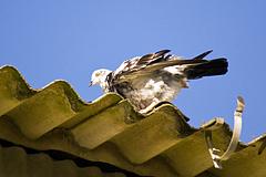 ダルメシアン柄の鳩