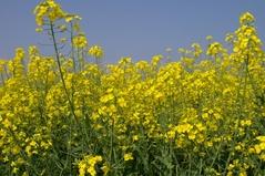 西都原公園の菜の花