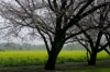 西都原公園の桜と菜の花