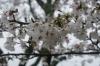 西都原古墳公園の桜