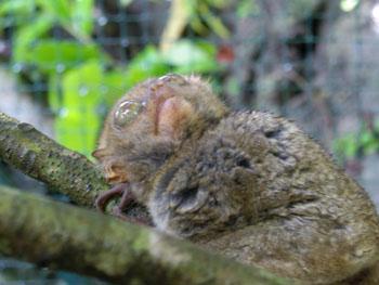 ターシャという小さい動物