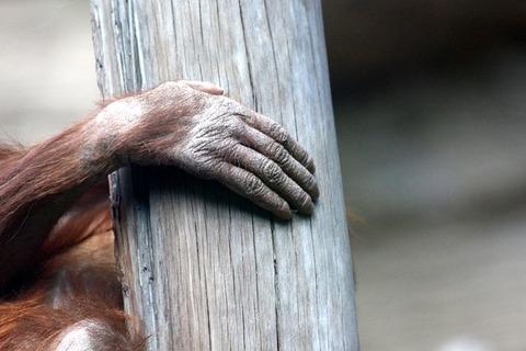 orangutan-2155661_640