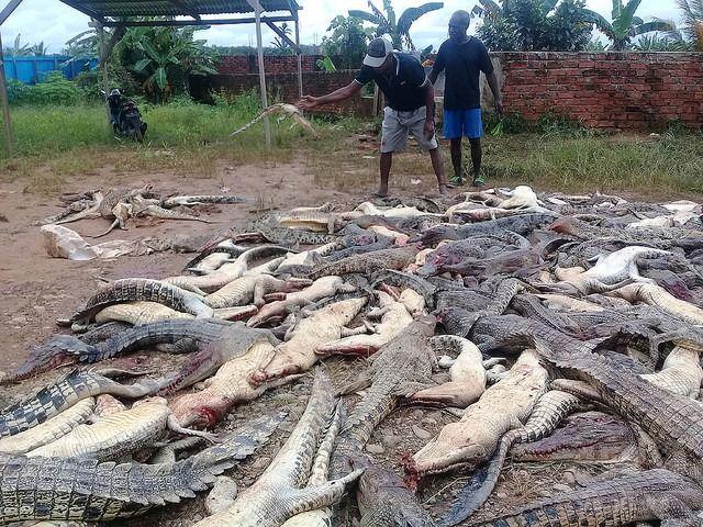 男性がワニに食われて死亡→親族たちが報復、ワニ292匹を殺害