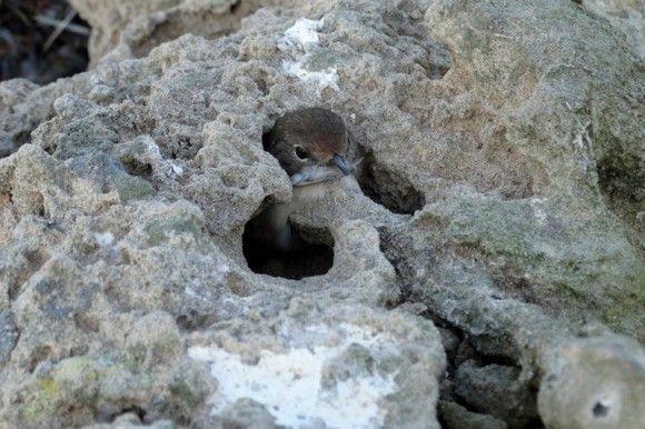後でおいしくいただく為。岩の中に生きたままの鳥を幽閉するハヤブサの知恵