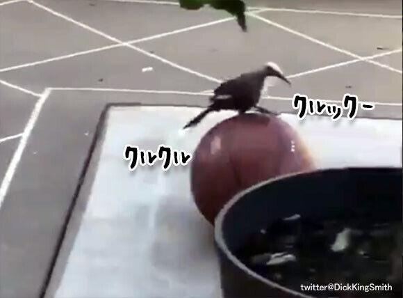 ボールを発見した鳥の一人遊びは玉乗り上手。突いて転がしパサッと飛び乗る