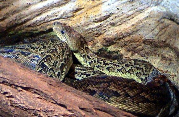 ヘビも群れる。グループで狩りを行うヘビの存在が明らかに(米研究)