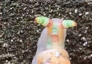 【閲覧注意】レウコクロリディウムに寄生されたカタツムリ見つけたんだが・・・(動画)