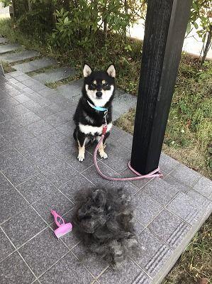 【悲報】ワイのイッヌ、とんでもない量の毛が抜けてしまう