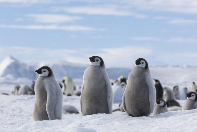 ペンギン「天敵から海に逃げたろ」