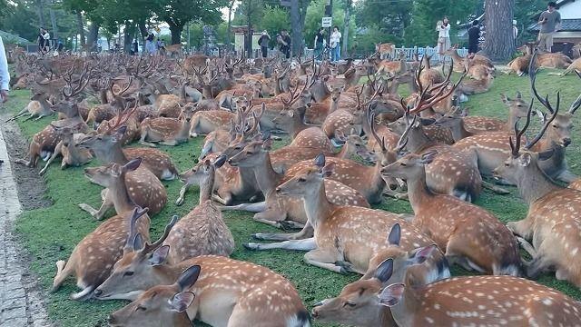 【画像あり】奈良の鹿がスゴイから見てくれwwww