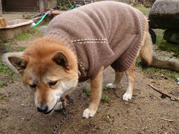 【画像あり】飼イヌッシ「今日は冷え込んだからイッヌに服着せたろ!」イッヌ「……」