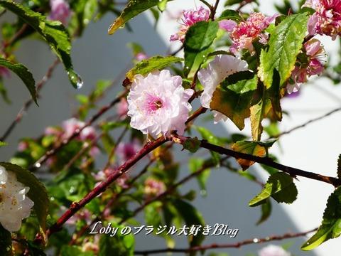 cerejeirinha