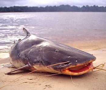 フィリョッテ魚
