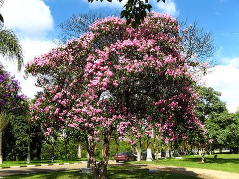 クワレズメイラの木