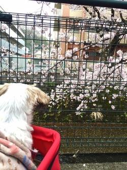 ポコ、バギー初乗りで桜