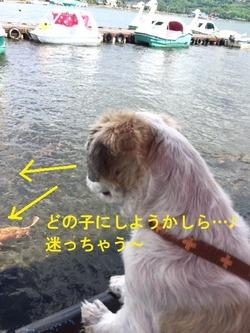 鯉を見つめるポコ