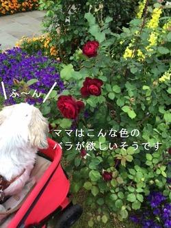 薔薇とポコ