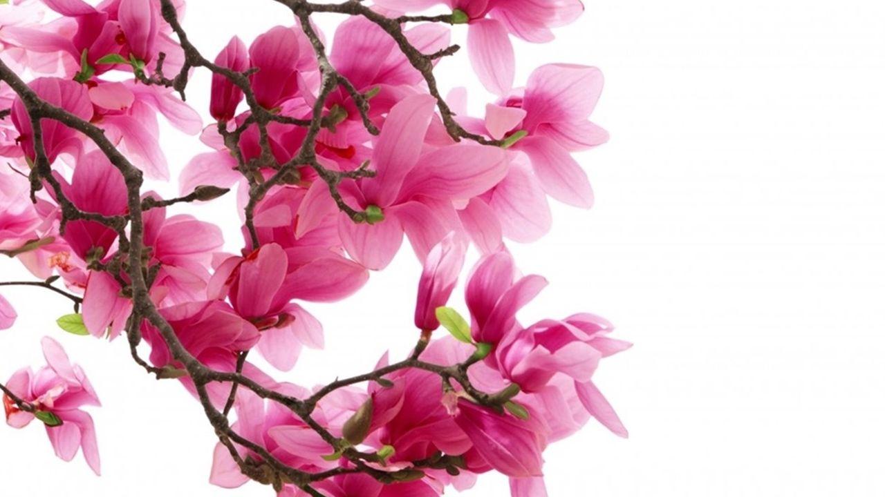 pink magnolia flowers wallpaper full hd tumblr wallpaper hd tumblr