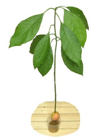 avo-tree-mizudake