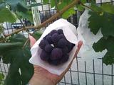 葡萄の成長
