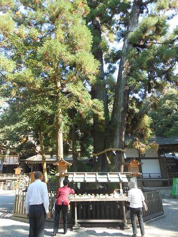 大神神社の拝殿前にある巳の神杉 - ぶっちゃけ古事記