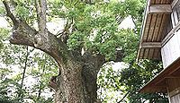 杉桙別命神社 - 河津町、12月に鳥精進酒精進があるキノミヤの社、樹齢1000年の大クス