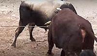 重要無形民俗文化財「牛の角突きの習俗」 - 本州で唯一伝承され動物競技のキャプチャー