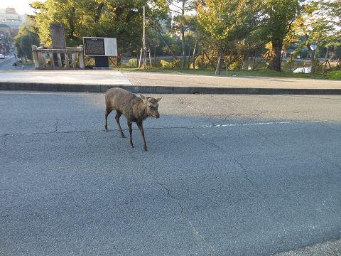 春日大社への道すがら、普通に車道を横断している鹿