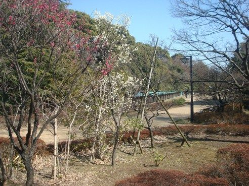 哲学堂公園の風景-梅
