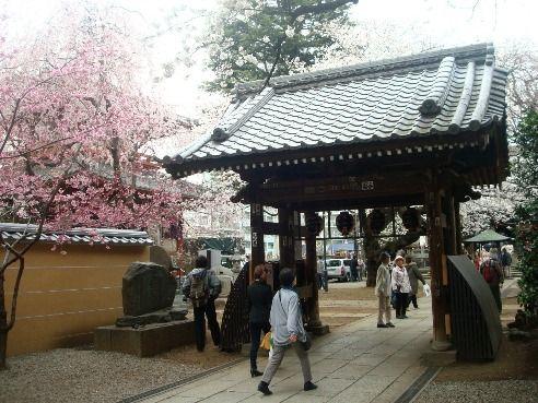 新井薬師 梅照院-桜の名所
