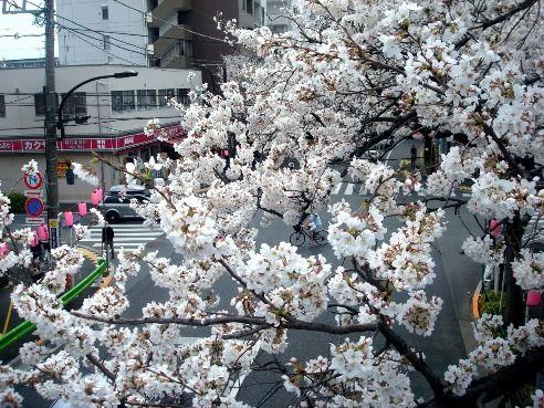 中野通り・新井小学校交差点-桜の名所