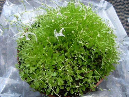 wasserschlauch-utricularia-sandersonii-foto-bild-71422065-1