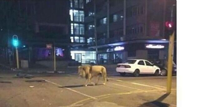 「ロシア全土でライオン800頭が放たれた」とデマ拡散→報道官がすかさず否定「放ったのはクマだ」