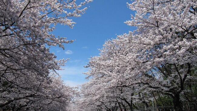 上野公園で花見をした老人、見事に新型コロナに感染してしまう