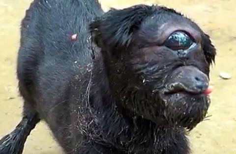 【ニュース】単眼症=一つ目のヤギ生まれる生後8日経過