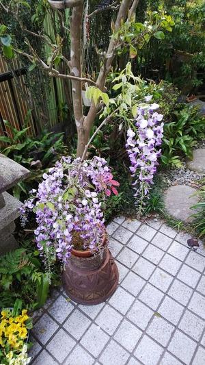 2018 藤の花
