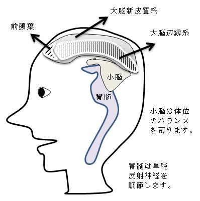 脳の構造(模式図)