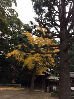 大木と銀杏2