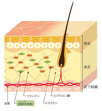 肌のハリの構造