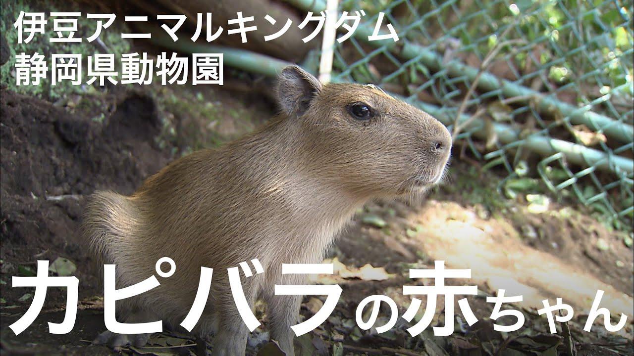 カピバラの赤ちゃん公開【動画】伊豆アニマルキングダム