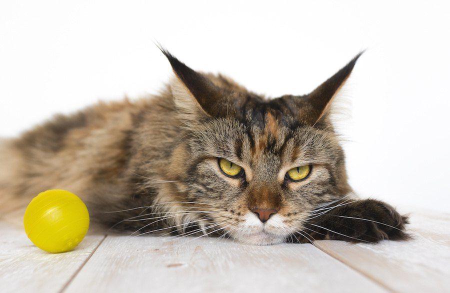 ふてくされた表情の猫