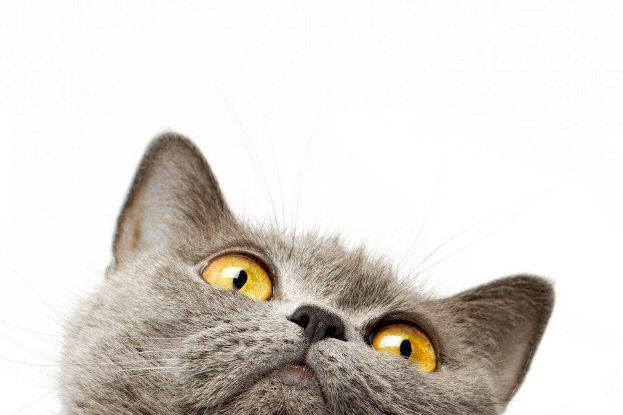 上を見ている猫の顔アップ
