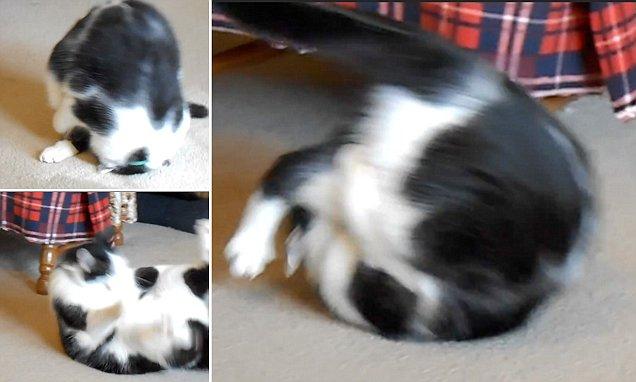 猫のローリー、でんぐり返しが大得意!!【動画】