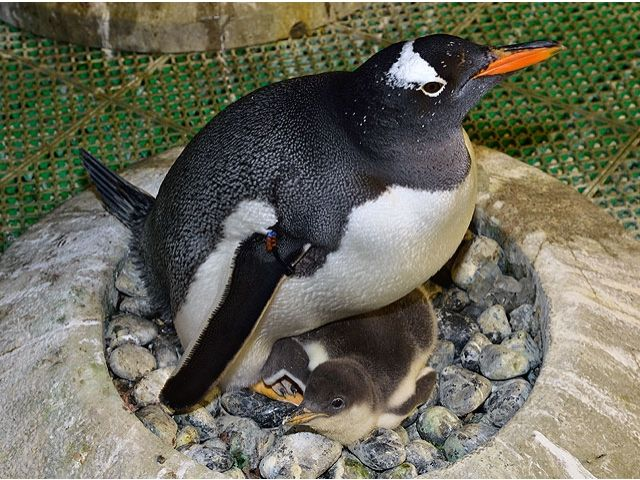 【愛知】ペンギンのヒナが続々誕生、故郷の南極は夏だものね/名古屋港水族館