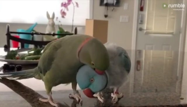 parrotbrothers3_e