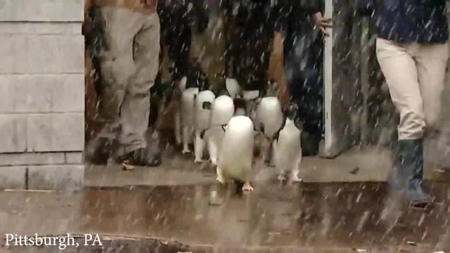 ピッツバーグ動物園、ペンギンたちが張り切って行進の練習[動画]