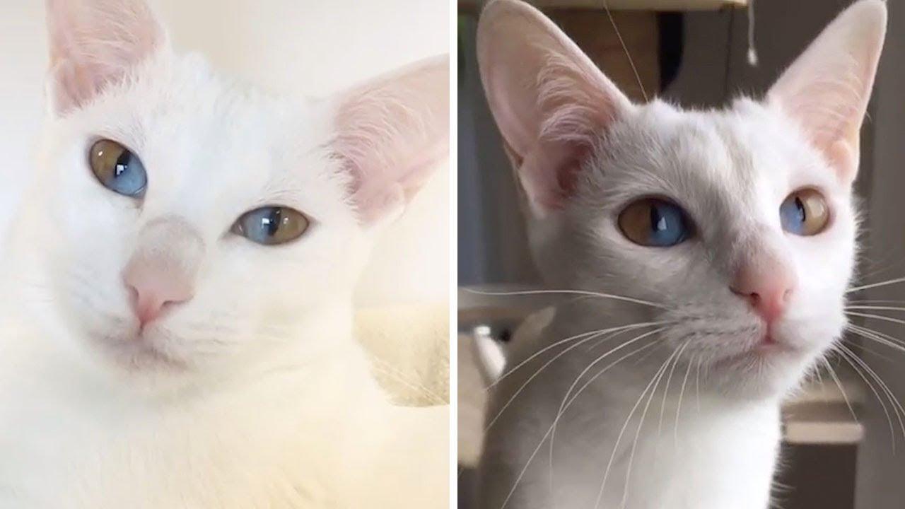 1つの瞳に2つの色。ダブルオッドアイの猫【画像】(イギリス)