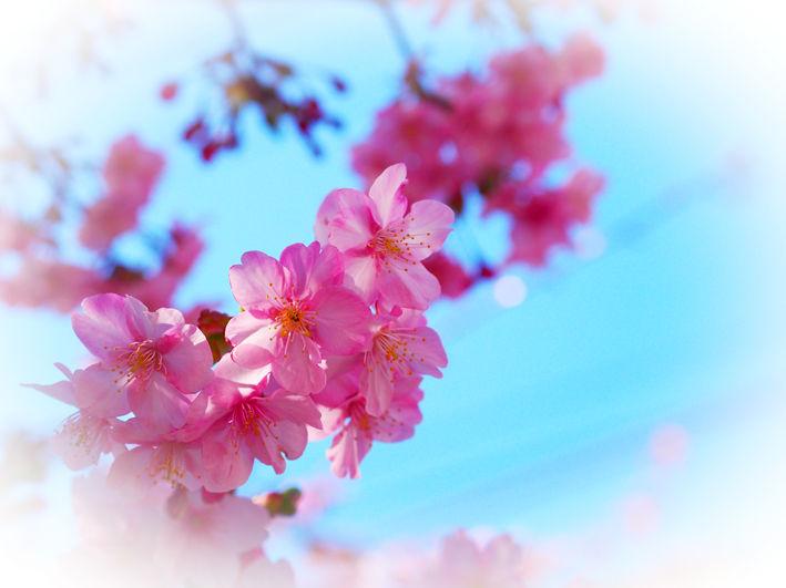 悲しいお別れと三浦半島の河津桜♪