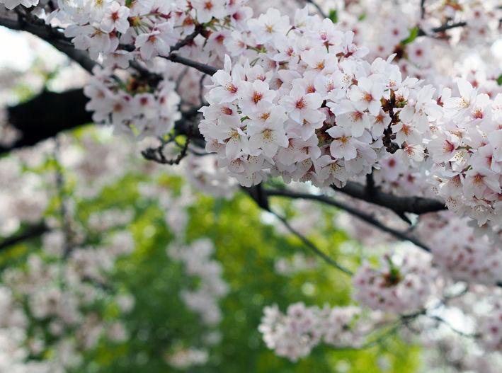 桜 自転車 ワンコ